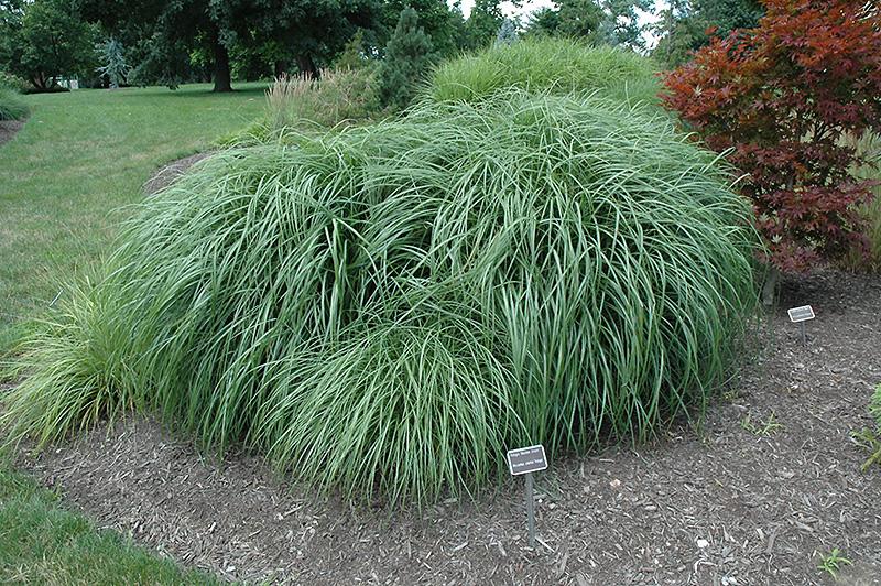 Adagio Maiden Grass (Miscanthus sinensis \'Adagio\') in Chicago ...