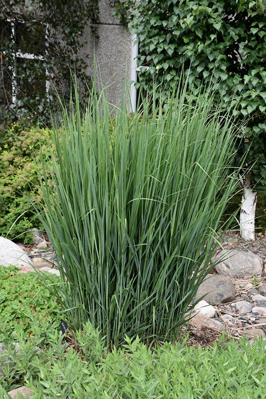 Northwind Switch Grass (Panicum virgatum \'Northwind\') in Chicago ...